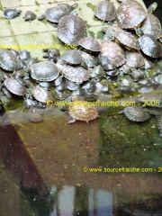 SAIGON - Chua Phuoc Hai - tortues.JPG